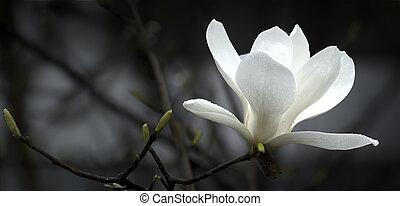 a beautiful white magnolia flower.