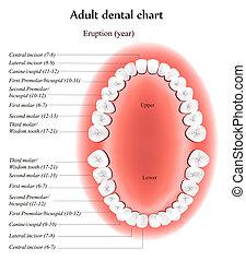 Adult dental chart. Eruption time