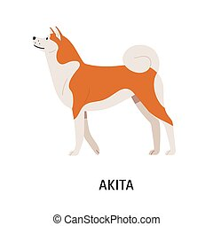 Akita Inu. Cute purebred Japanese companion dog with fluffy coat isolated on white background. Funny lovely domestic animal or pet of spitz breed. Colorful vector illustration in flat cartoon style.