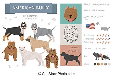 American bully dog isolated on white. Characteristic, color varieties, temperament info. Dogs infographic collection
