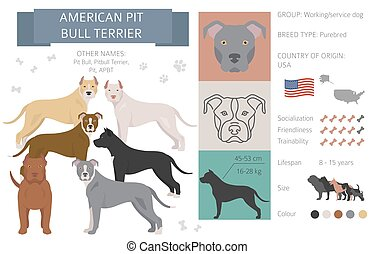 American pit bull terrier dog isolated on white. Characteristic, color varieties, temperament info. Dogs infographic collection