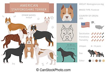American staffordshire terrier  dog isolated on white. Characteristic, color varieties, temperament info. Dogs infographic collection