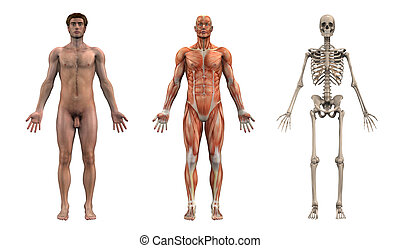 Anatomical Overlays - Adult Male - Front View -- These images will line line up exactly, and can be used as overlays to study anatomy.