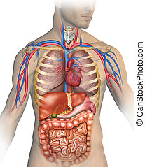 Anatomy of the human body with different organs that compose