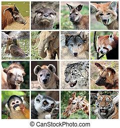 Animals collage with potamochoerus, otter, wallaby, maned and grey wolf, capybara, elephant, red panda, camel, hyena, snow leopard, lycaon, squirrel monkey, maki catta, giraffe, tiger portrait