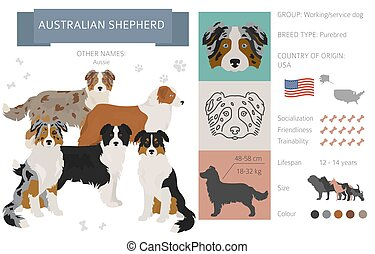 Australian shepherd dog isolated on white. Characteristic, color varieties, temperament info. Dogs infographic collection