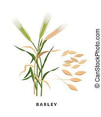 Barley cereal grass and grains - vector botanical illustration in flat design isolated on white background