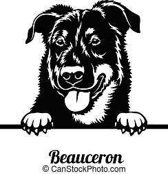 Beauceron - Peeking Dogs - breed face head isolated on white