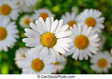 Beautiful chamomile flowers close-up