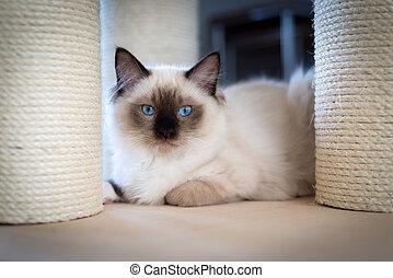 Beautiful Ragdoll kitten hiding under cat bed.