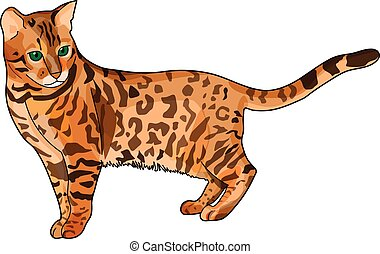 The brown spotted bengal cat on a white background.
