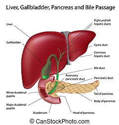 Liver, gallbladder, pancreas and bile passages, eps8,