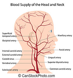 Blood supply of the head and neck