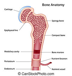 Anatomy of a long bone, eps8