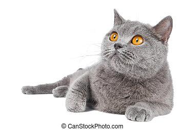 British shorthair grey cat with big wide open orange eyes isolated