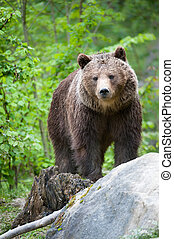 brown bear (lat. ursus arctos) stainding in the forest