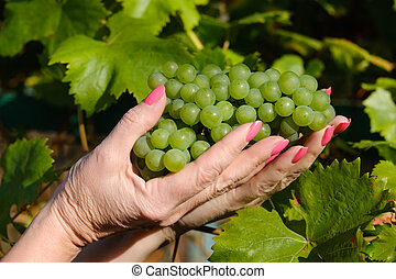 bunch of grapes in female hands