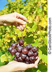 Bunch of grapes in the hands