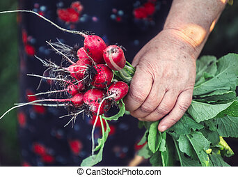 Bunch of radishes in hands