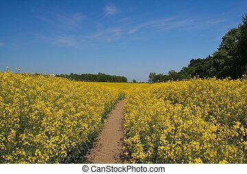 Canola field #2