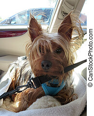 An photo of a car seated yorkie dog.