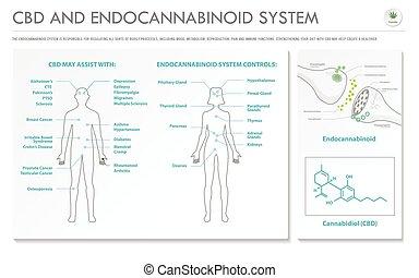 CBD and Endocannabinoid System horizontal business infographic