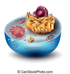 Cell structure, cross section of the cell detailed colorful anatomy