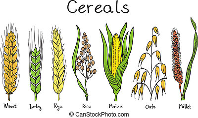 Cereals hand-drawn illustration - wheat, barley, rye, millet, oat, rice, maize