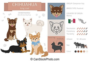 Chihuahua long coated dog isolated on white. Characteristic, color varieties, temperament info. Dogs infographic collection