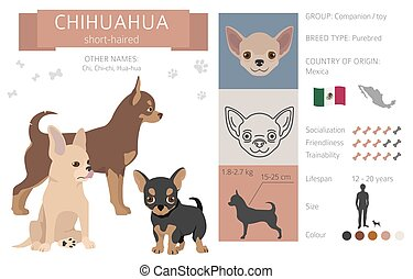 Chihuahua short coated dog isolated on white. Characteristic, color varieties, temperament info. Dogs infographic collection