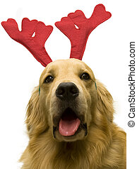 close up photo of cute doggy wearing reindeer horn on his head on white background