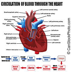 Circulation of blood through the heart (for basic medical education, for clinics & Schools), vector illustration