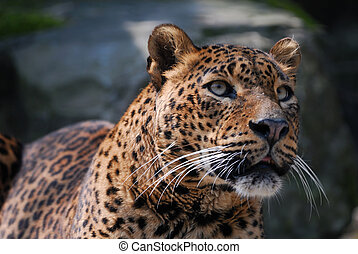 beautiful leopard