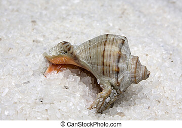 Cockleshell in large sea white natural salt