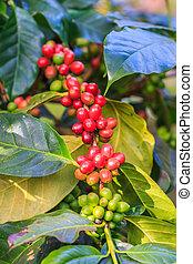 Coffee beans arabica on tree
