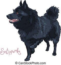 Color sketch black dog Schipperke breed