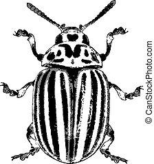 Colorado potato beetle - rough vector illustration