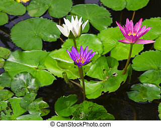Colorful Three water lily lotus flower and green fresh leaves