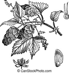 Common hop or Humulus lupulus, vintage engraving. Old engraved illustration of Common hop, leaves and flowers isolated on a white background.