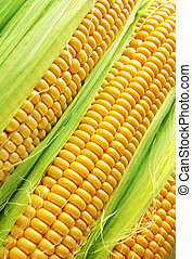 corn cob between green leaves