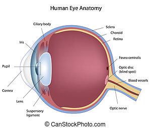 Diagram of human eye, eps8