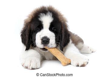 Cute Saint Bernard Puppy Enjoying a Treat on White Background