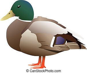 Very detailed vectorized green headed duck.