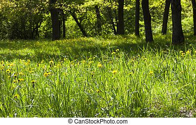 dandelions in park
