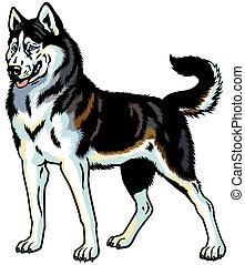 dog siberian husky breed, illustration isolated on white