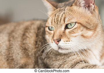 Domestic cat face