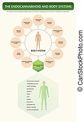 Endocannabinoid and Body Systems vertical textbook infographic