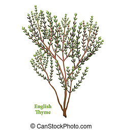 English Thyme, fragrant, popular, garden herb used to season meats, stews, poultry, vegetables. Classic ingredient of French herb blends, Bouquet garni and Herbes de Provence. See other herbs and spices in this series.