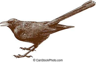 Vector antique engraving drawing illustration of blue whistling thrush isolated on white background