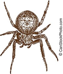 Vector antique engraving drawing illustration of cross spider isolated on white background